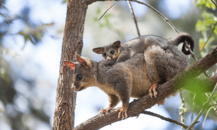 Baby possum reunited with mum