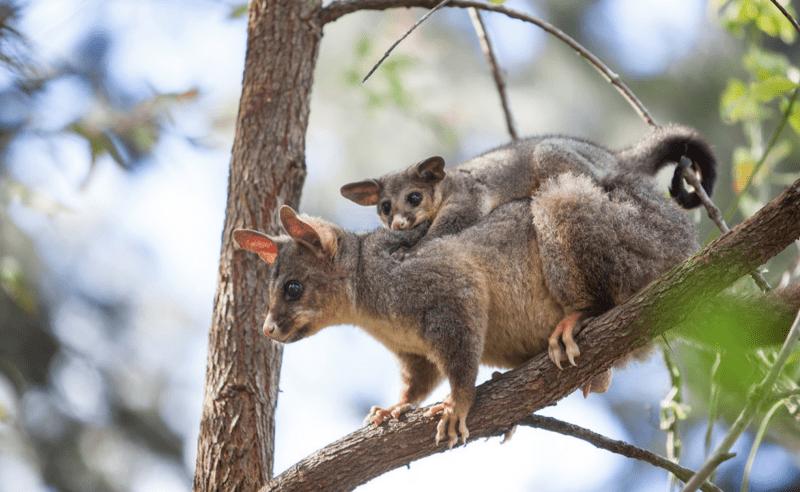 Baby possum reunited with mum