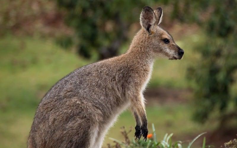 Annie the redneck wallaby