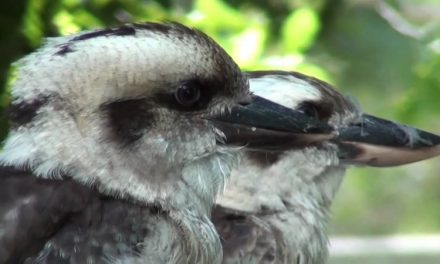 The unique Kookaburra
