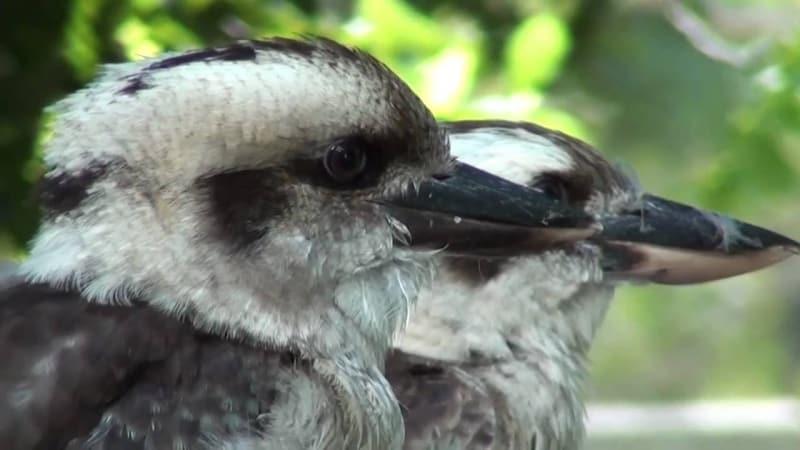 The unique Kookaburra